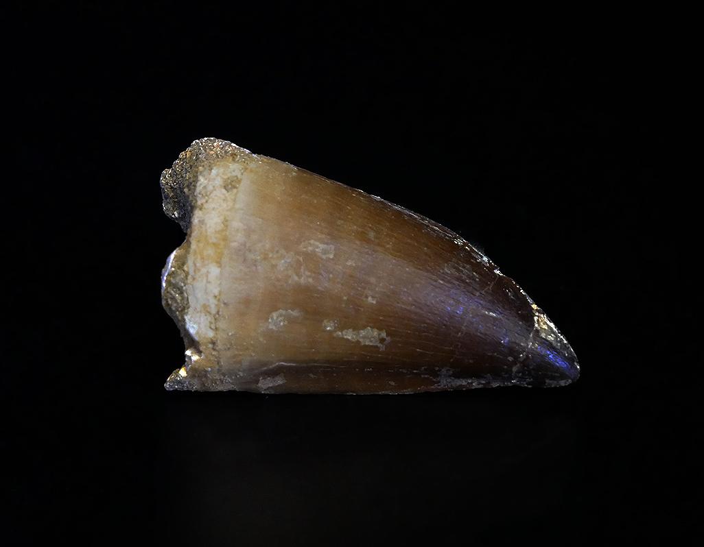 Mosasaurus Zahn